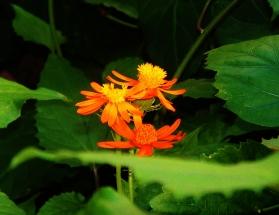 orange-blossoms
